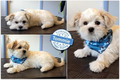 Trimsalon Doggy Styling - Tommie