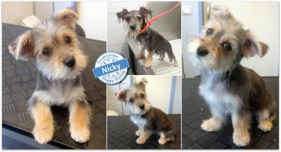 Trimsalon Doggy Styling - Nicky